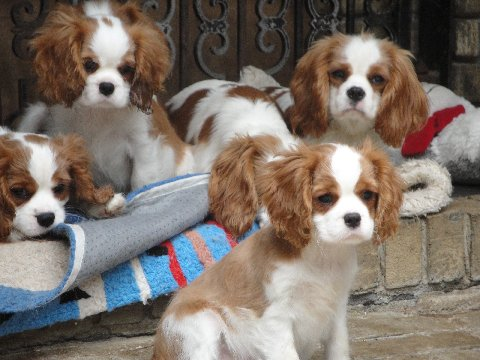 Blenheim Cavalier Puppies
