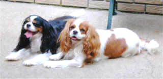 Gem and Flo Tricolor and Blenheim Cavalier King Charles Spaniels