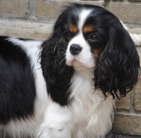 Charterwood Glittered Cavalier Tricolor Show Dog