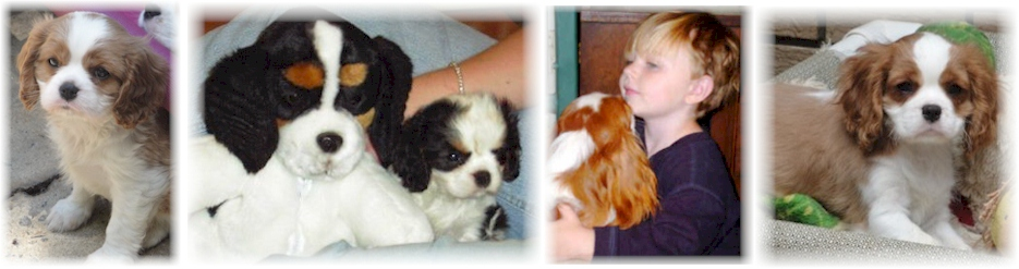 Beautiful Cavalier Puppies - Cavalier King Charles Spaniel Puppies - Cavalier Breeder of Champions