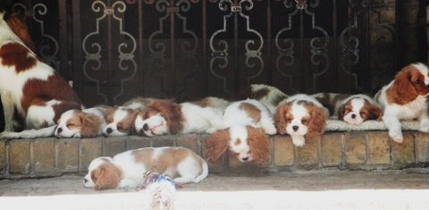 Sleeping cavalier puppies