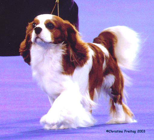 Ch Moonvale Infatuation Cavalier King Charles Spaniel Winner at  Westminster Crufts ACKCSC Winner