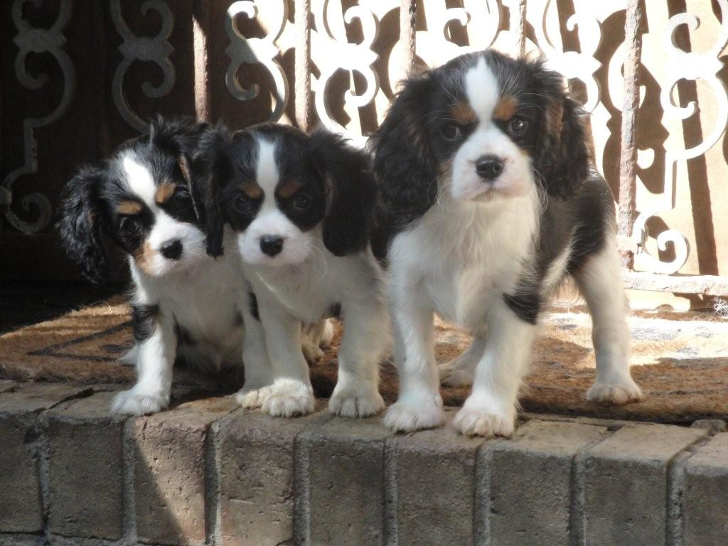 Beautiful blenheim cavalier puppies