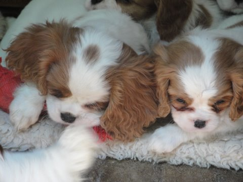 Tricolor Cavalier King Charles Spaniel Puppies